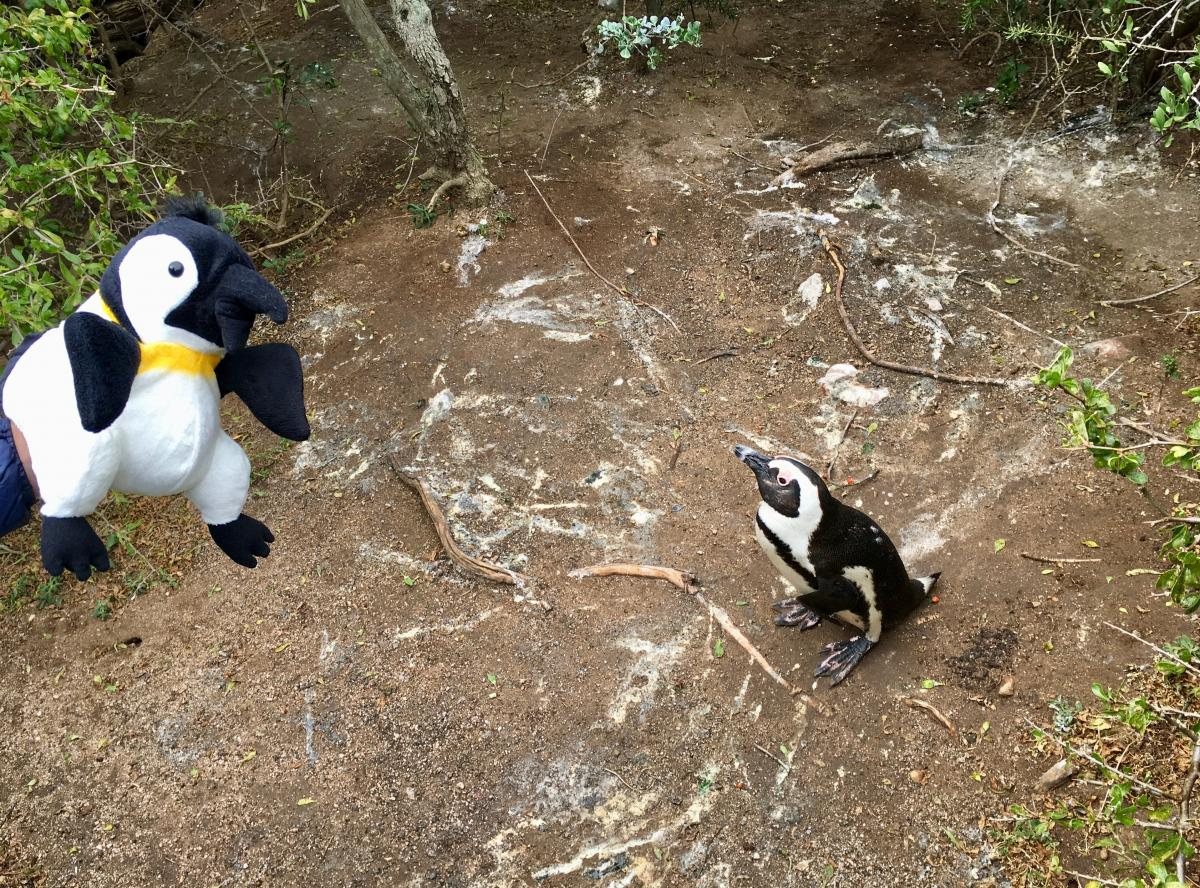 Ringo meets another penguin